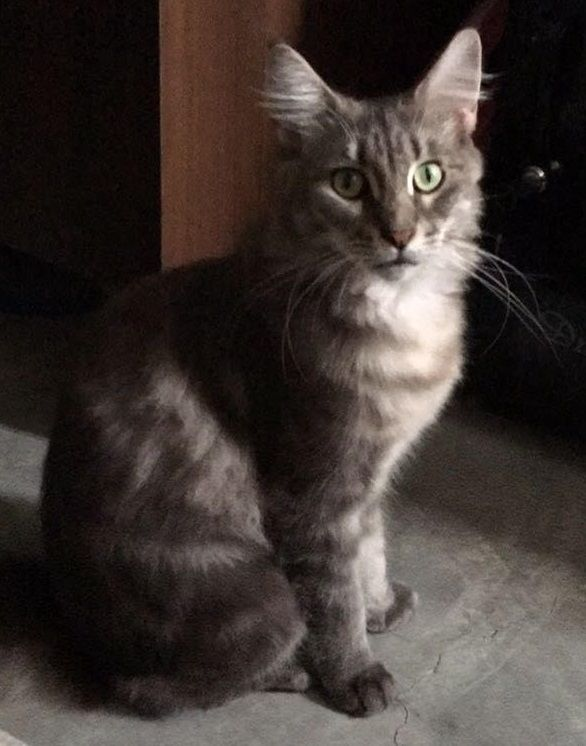 Name Of Pet Miao Miao Breed Maincoon Cat Color Blue Silver Tabby Gender Female Age 2 Years Old Size Small 4 5 Kg Date Lost 30 Ja Cats Cat Colors Tabby