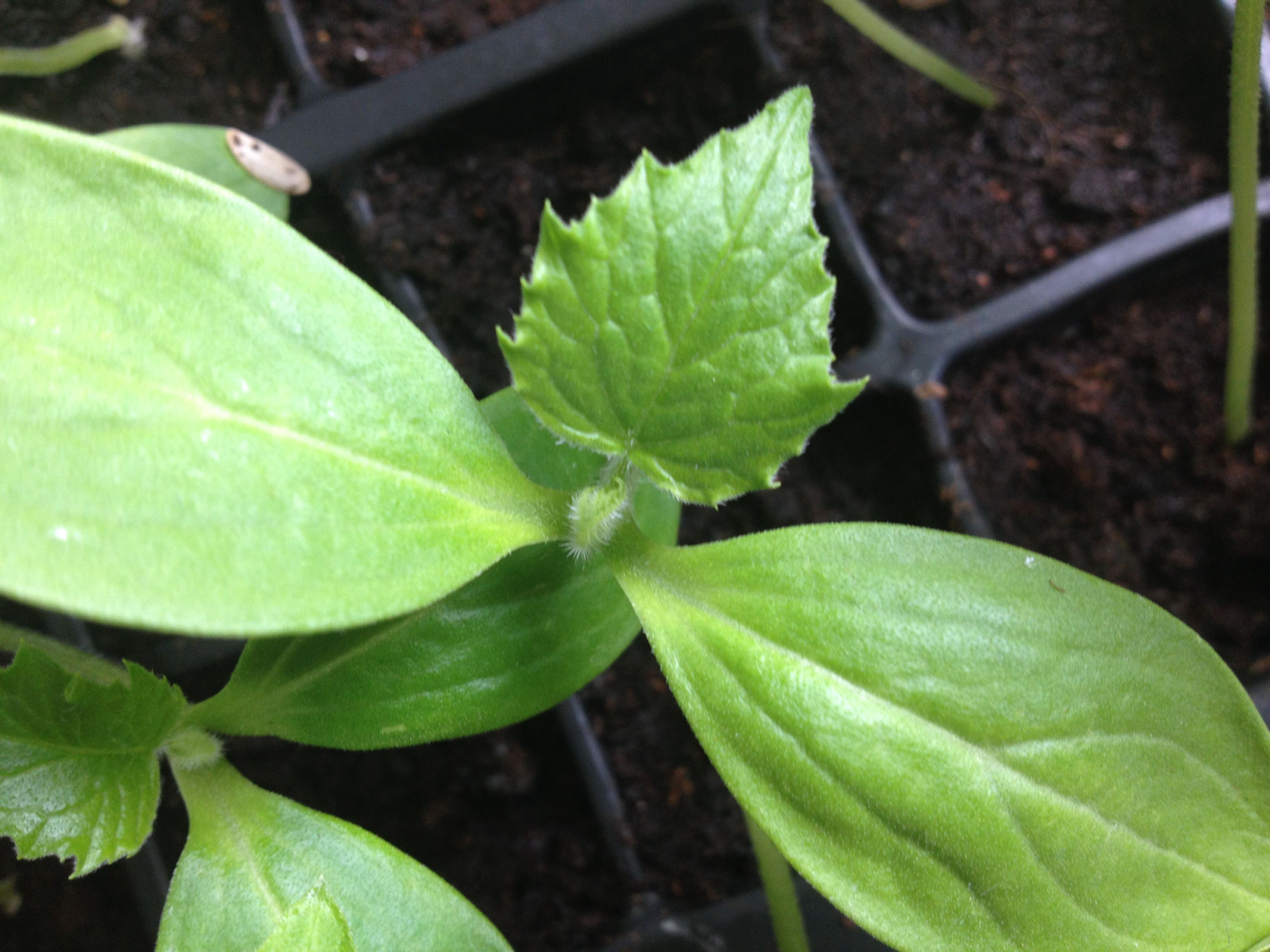 Lemon cucumber seedlings 10/4/14