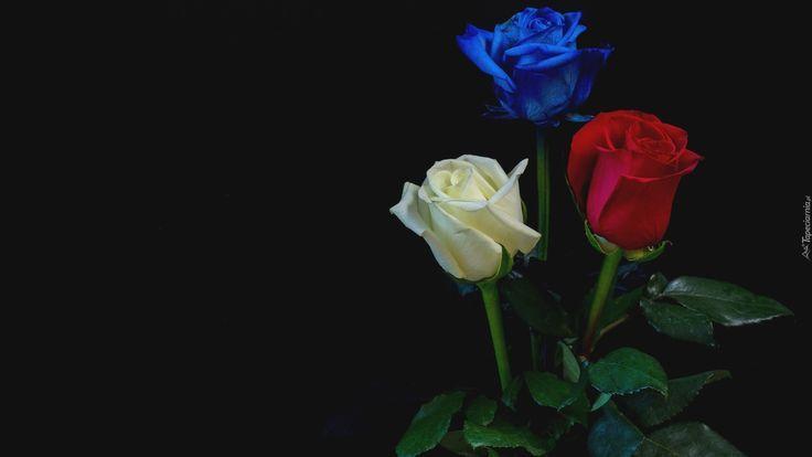 Trzy Róże Biała Czerwona Niebieska Czerwona Róża