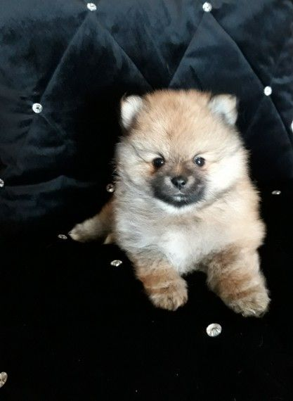 Kuwait Dogs And Puppies Adoption And Sales Email Us At Khaleelsalafi Hotmail Com Pedigree Pomeranian Puppies For Sale In Puppies For Sale In Kuwait Pomer