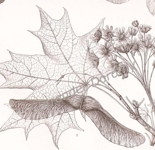 1887 Maple Tree Varieties Victorian Era Botanical Illustration In