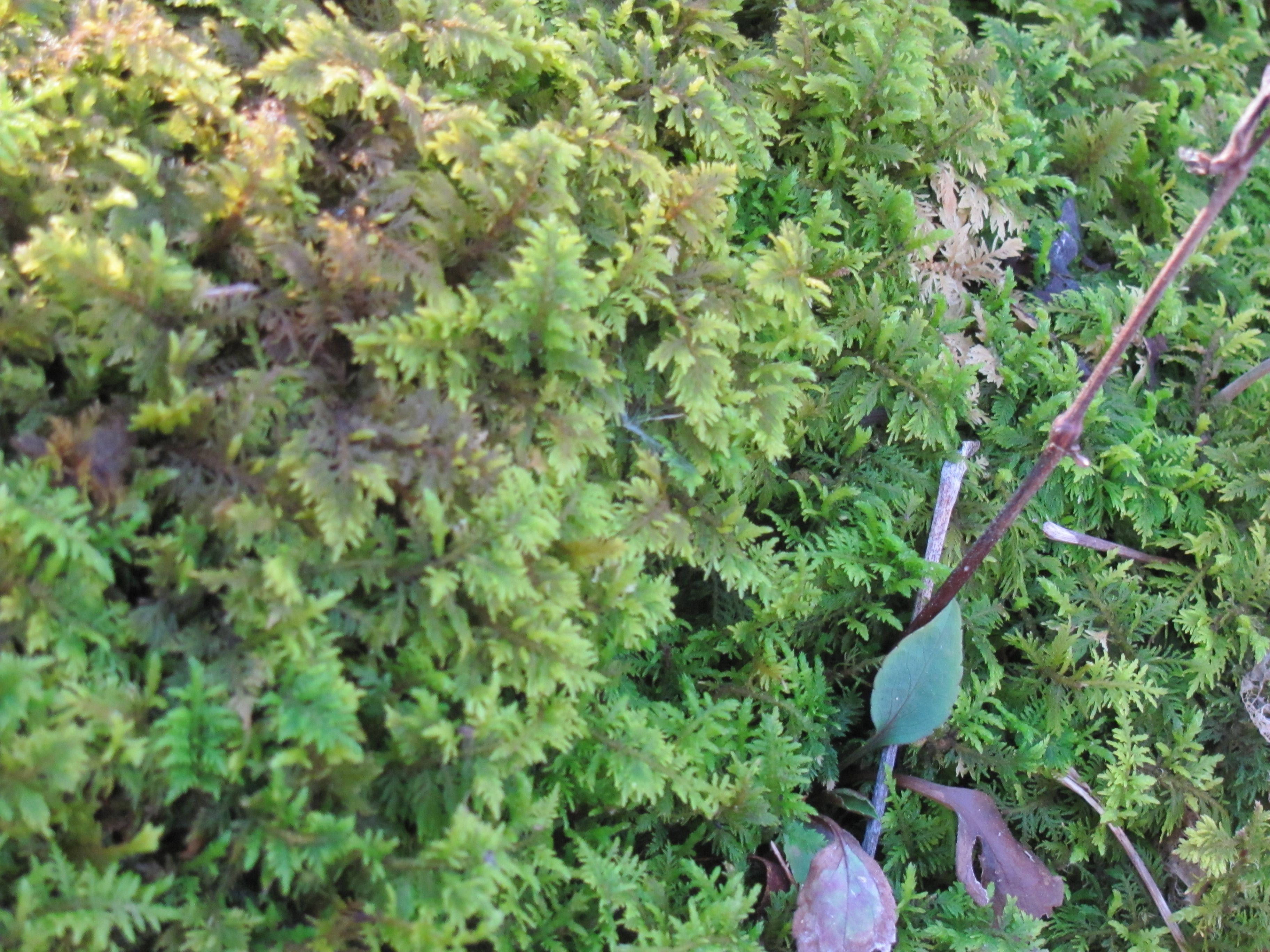 One of the many species of moss growing here on the Ridge. The tiny fern like leaves make it one of my favorites