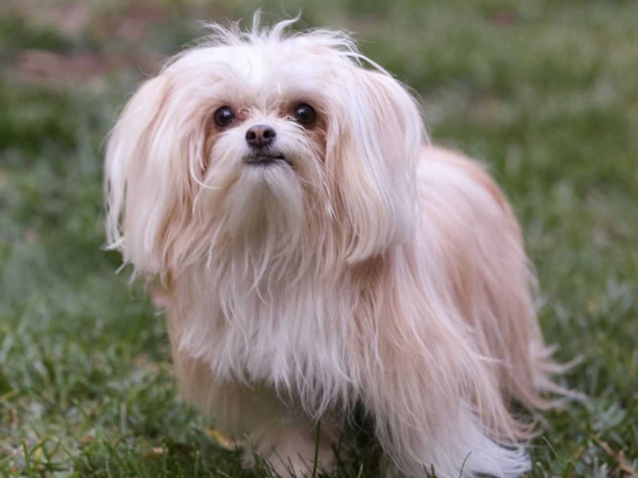 Mi ki breed.Maltese, Japanese Chin, Papillon mix