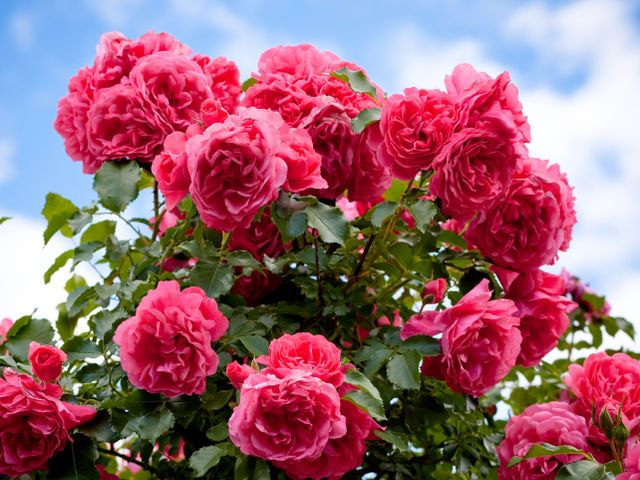 What Flower Are You Really Trim Rose Bushes Pink Rose Flower Rose Bush