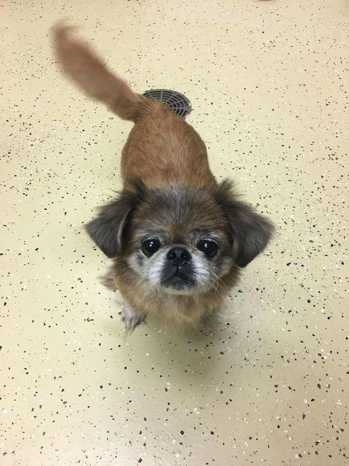 Pekingese dog for Adoption in Newport, KY. ADN722196 on