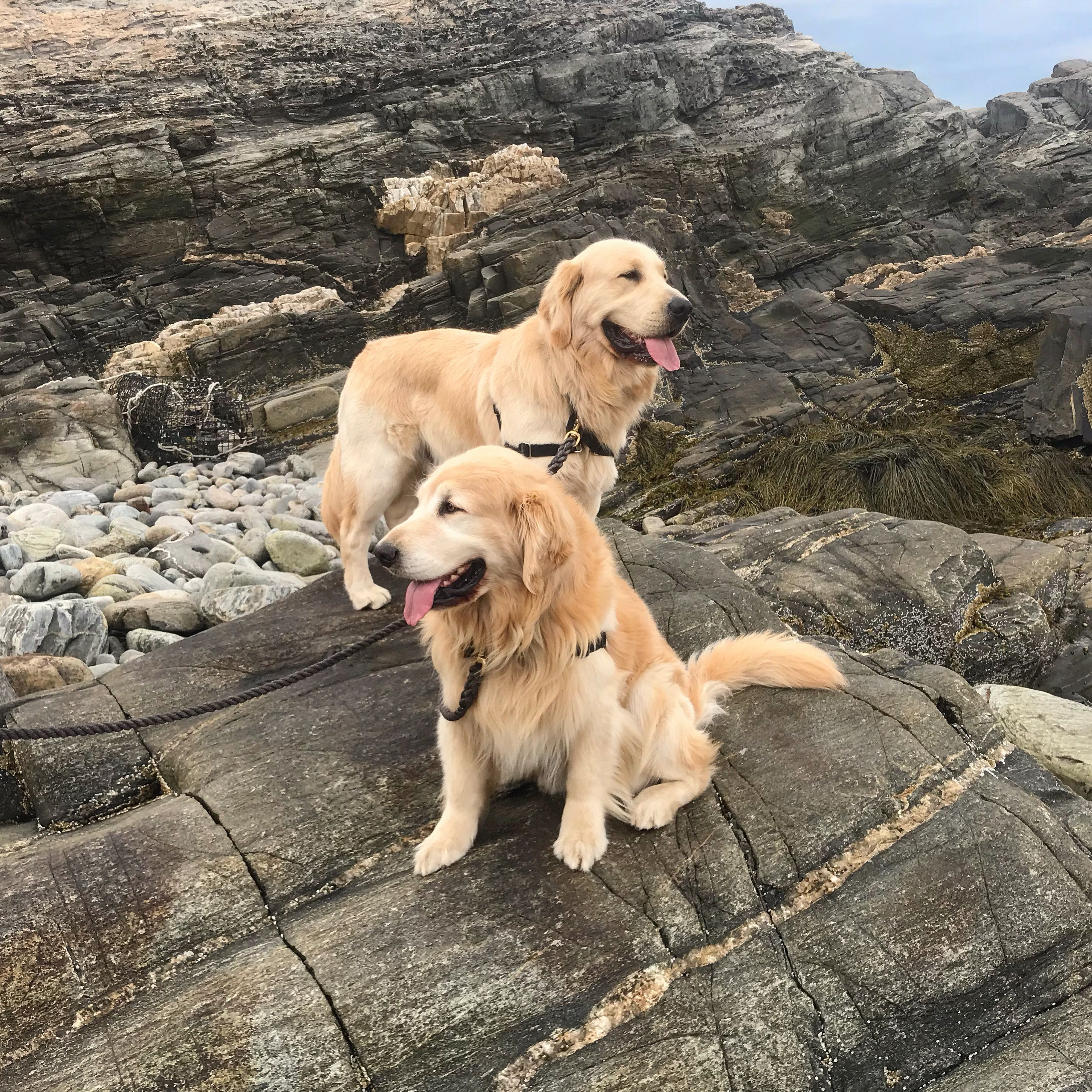 Father and son golden retrievers on the coast of Maine