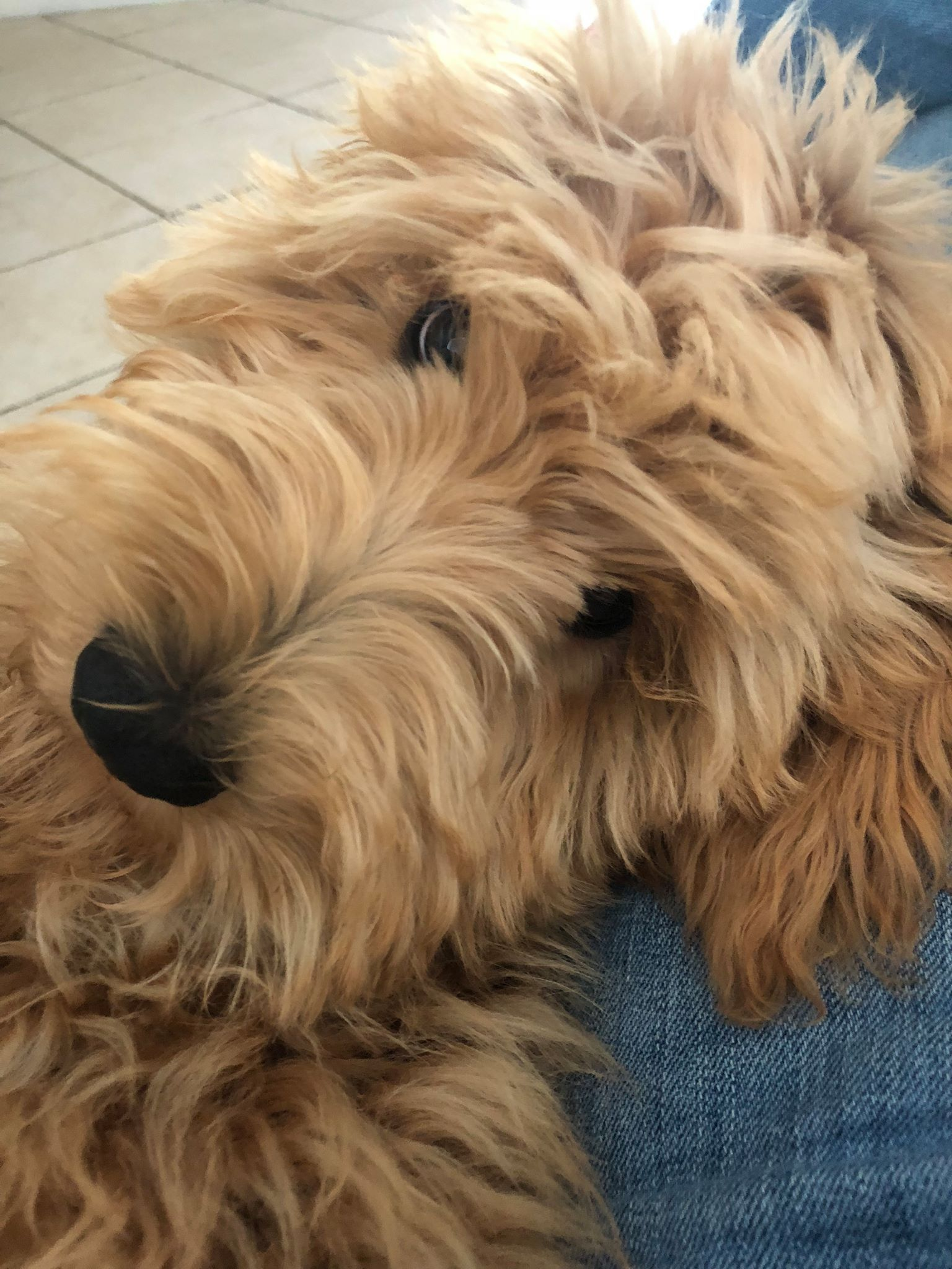 English Goldendoodle from Moss Creek Goldendoodles ...