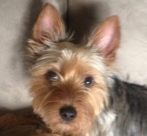 Jake the Silky Terrier. is an adoptable Silky Terrier Dog