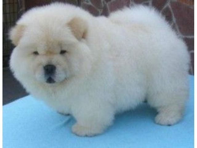Chow Chow Puppies Available Chow Puppies For Sale Chow Chow