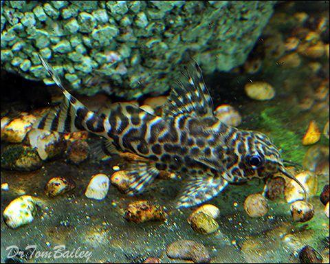Synodontis Eupterus 100519a1 W0480 Jpg 480 384 Aquarium Fish Aquarium Catfish Home Aquarium Fish