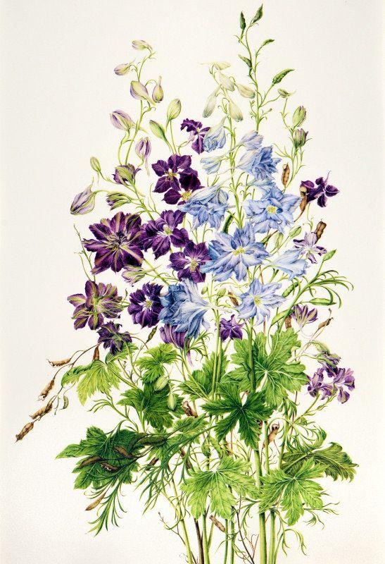 Consolida Ambigua Delphinium Hybridum Botanical Artwork Botanical Drawings Delphinium