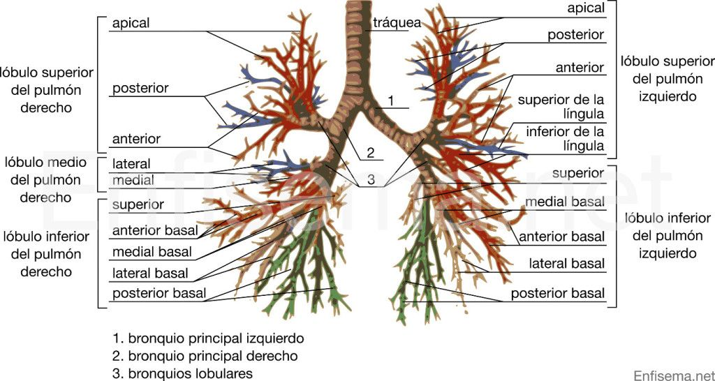 Diagrama del árbol bronquial | medicina | Pinterest | El arbol ...