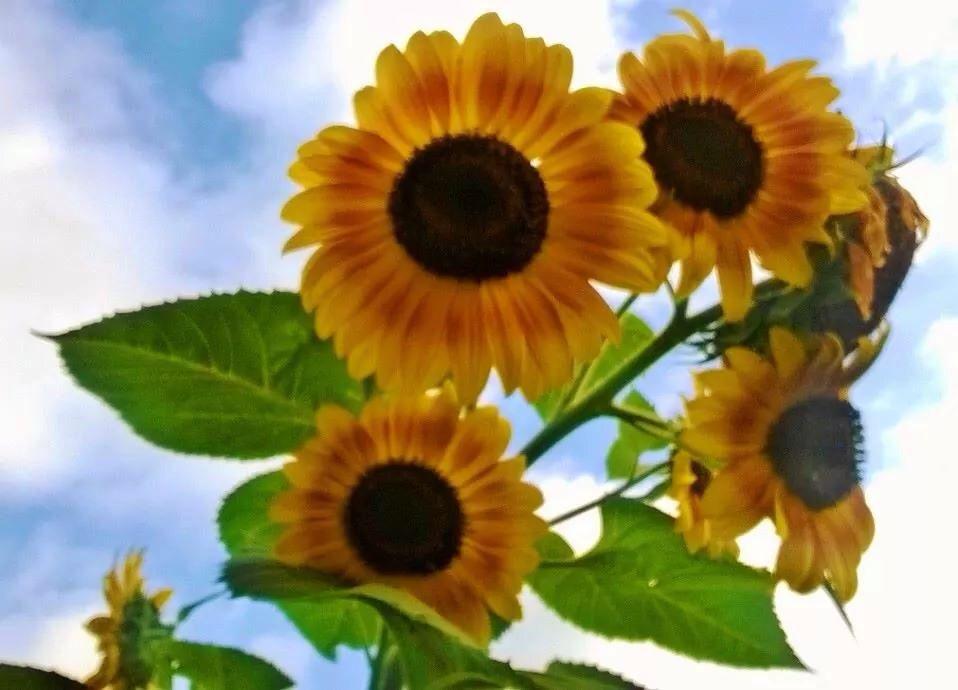 Lori's sunflowers
