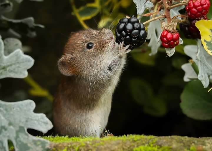Animal Portraits By British Wildlife Photographer George: Bank Vole Photo: (saved With Permission) By Robert Booth
