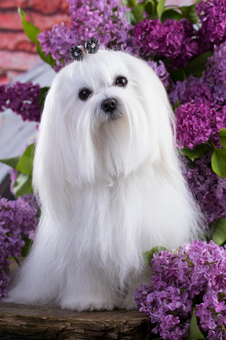 White Maltese Lap Dog And Lilac Flowers Maltese Dogs Maltese Maltese Puppy