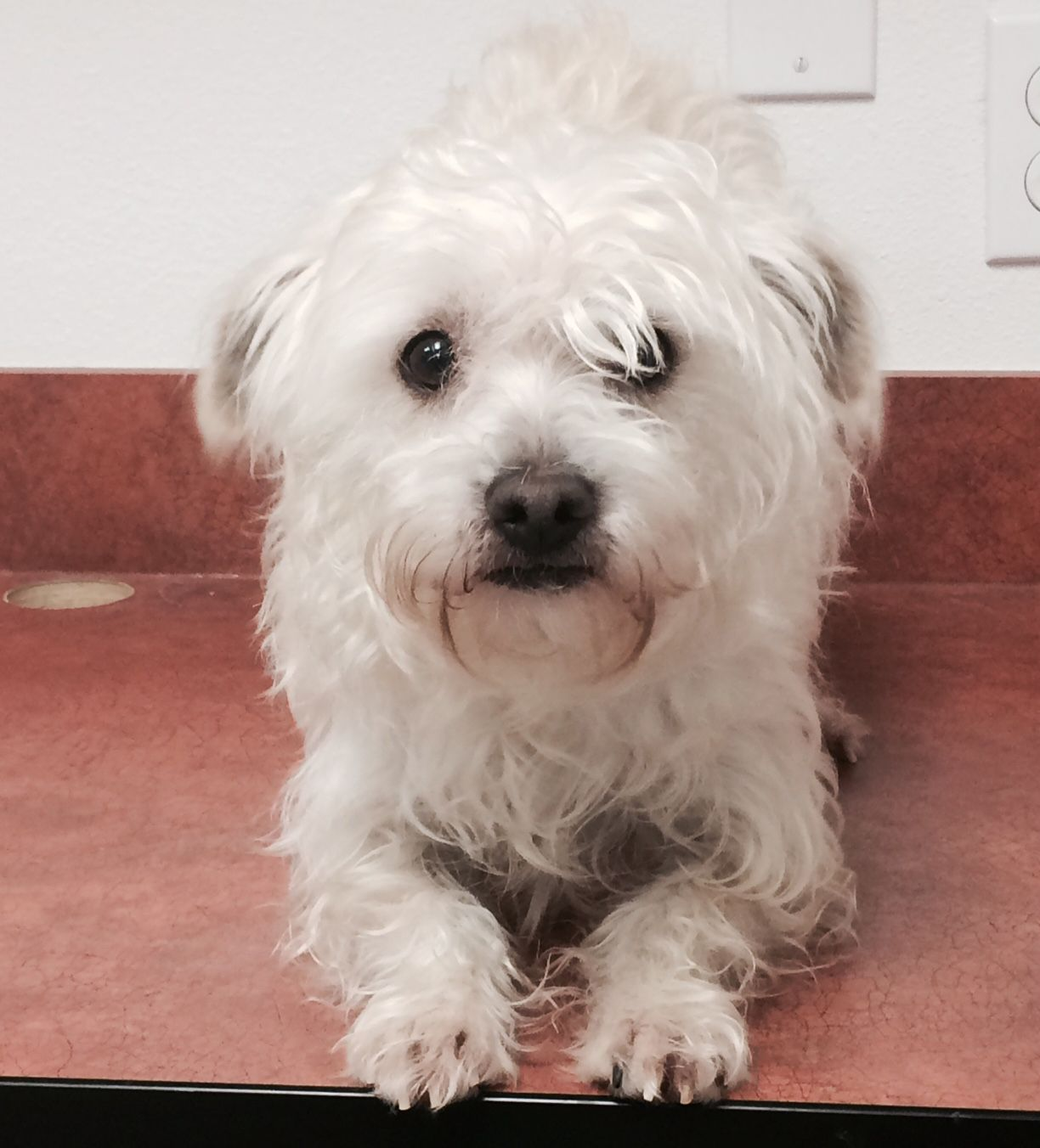 Oswald Is A 10 To 12 Pound 2 Year Old Maltese Yorkie Mix He Is