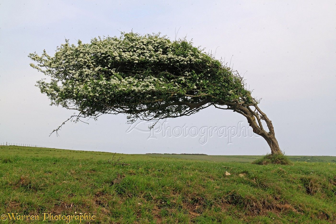 WP33090 Windblown Hawthorn Crataegus monogyna tree Sussex