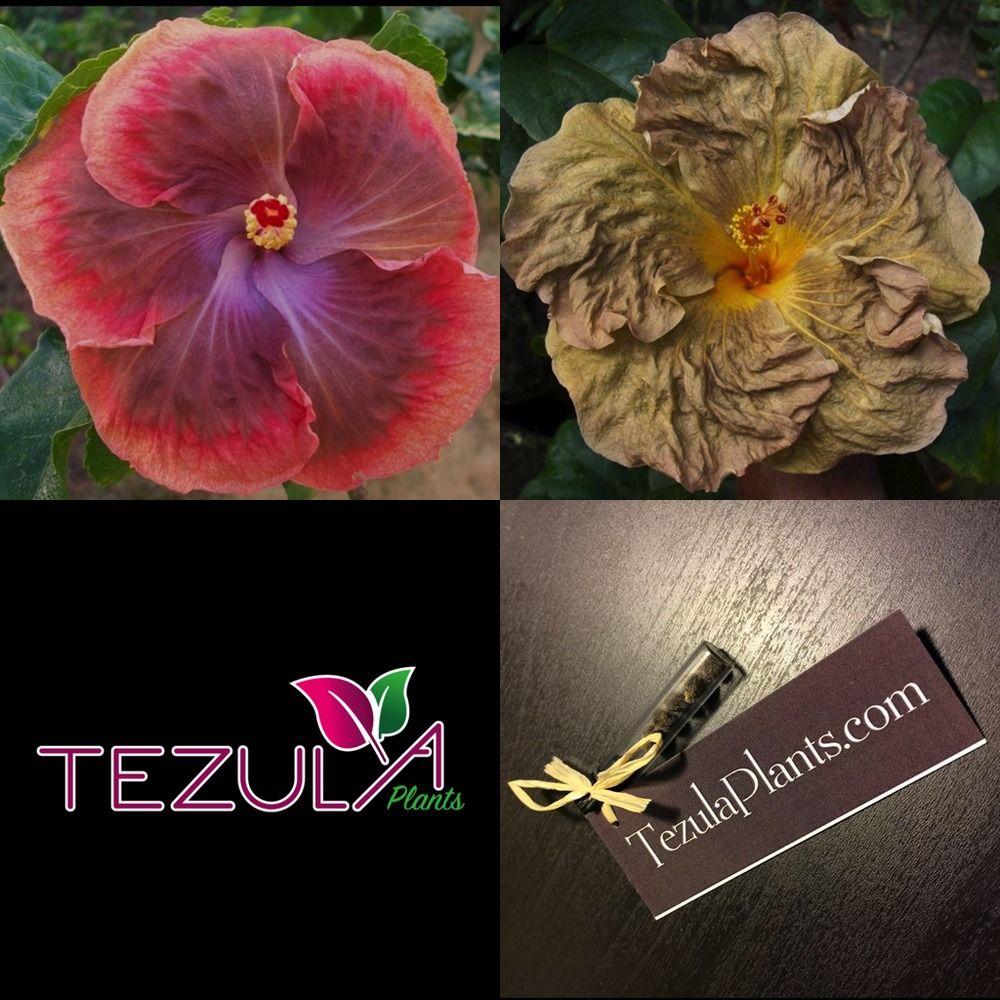 Tropical Hibiscus Seed Moorea Gold Moon X Topaz Glory 4 Seeds