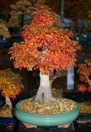 Japanese Maple Acer Palmatum Shishigashira Bonsai In Autumn