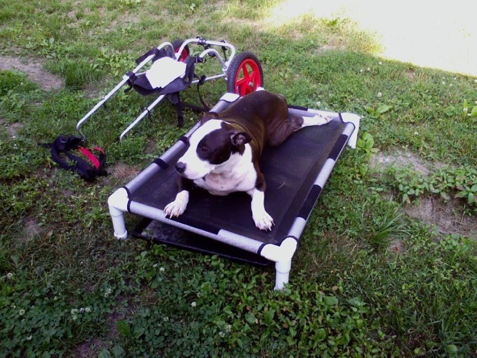 Winston The Paraplegic Pit Bull By Dorothy Reynolds Gofundme P G