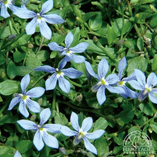 Plant profile for pratia celestial spice celestial spice pratia this little creeping perennial forms a flat carpet of tiny green leaves smothered with starry deep blue flowers all summer long ideal for planting between mightylinksfo