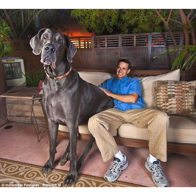 This Not Photoshop True To Size Largest Dog In The World He