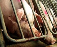 Urge Tyson Foods to Treat Pigs Better  Go to the US Humane Society site to sign the petition, I have!!