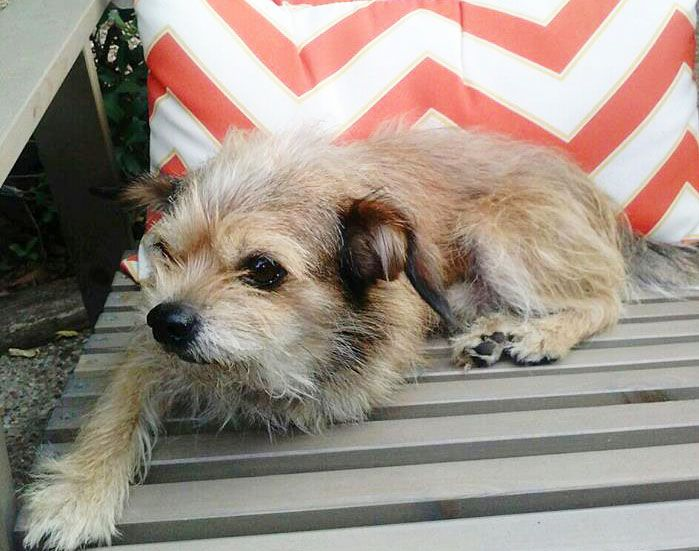 Adopt Milo on Terrier mix, Pets, Terrier mix dogs