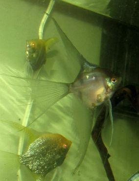 Blue Blusher Veil Angelfish Pterophyllum Scalare Angel Fish Pet Fish Blusher Veil
