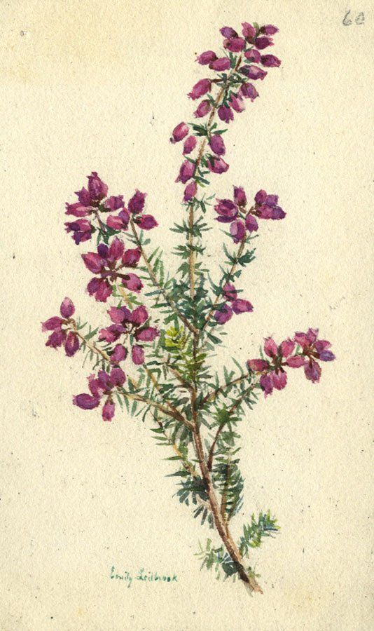 Emily Ledbrook Fine Leaved Heath Flower Original 1906 Watercolour Painting Fai Da Te Disegni Dipingere