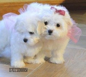 Maltipoo Puppies For Sale In Sc Maltese Puppy Dogs And Puppies