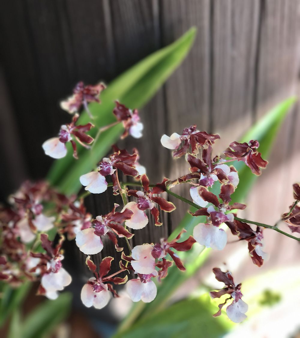 Oncidium Sherry Baby Learn When To Repot Orchids Repotting