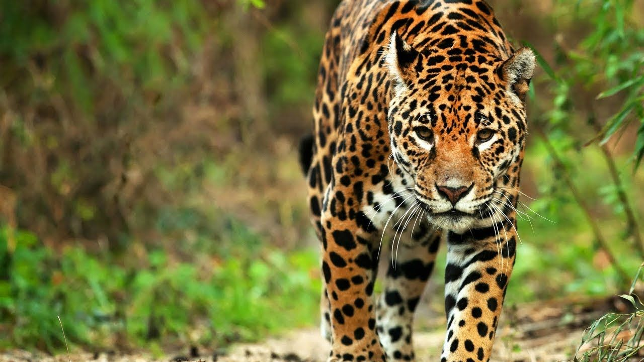 MÉXICO SALVAJE Discovery Channel Wildlife safari