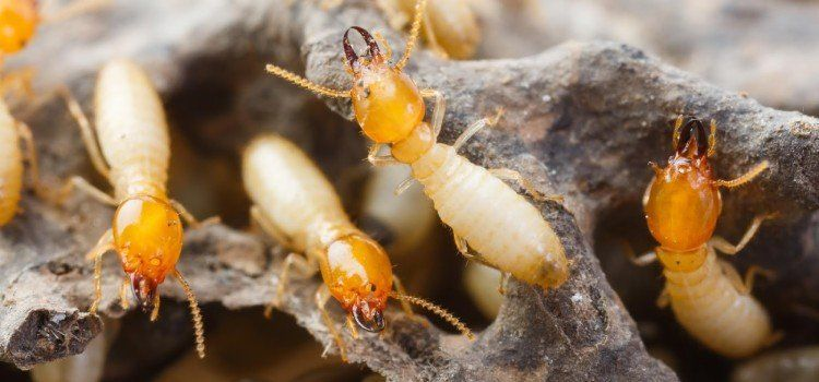 Como Acabar Con Las Termitas Como Eliminar Termitas Con 4 Tecnicas Diferentes Termitas