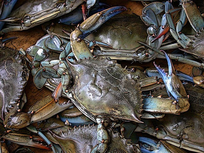 Blue Crabs how they look when there alive lol i love