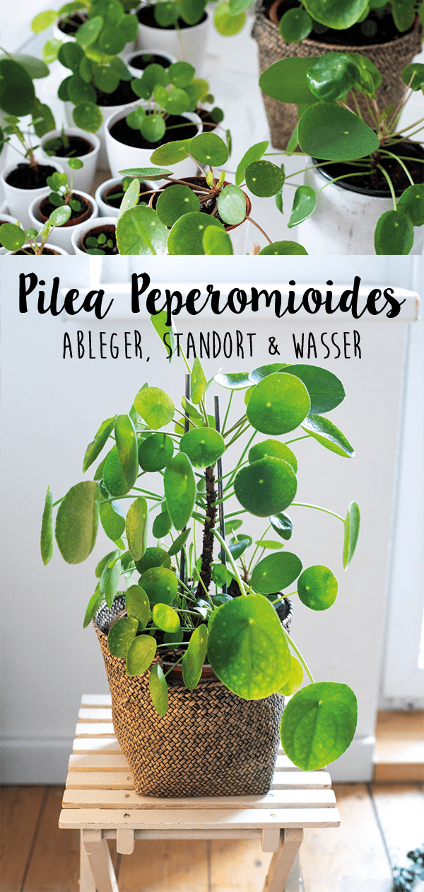 Pilea Peperomioides - Pflegetipps, Ableger, Standort, Wasser & Nährstoffe #indoorgarden