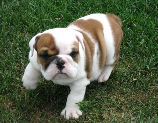 He S Just So Sweet Eventually I Will Have An English Bulldog