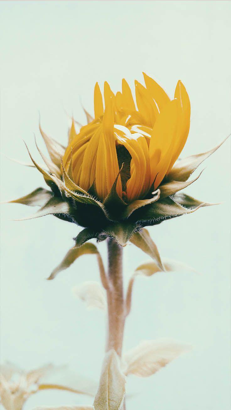 12 Super Pretty Sunflower iPhone Wallpapers Sunflower