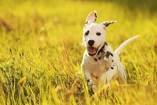 Dalmatian Puppy | Pet Photography | Dog