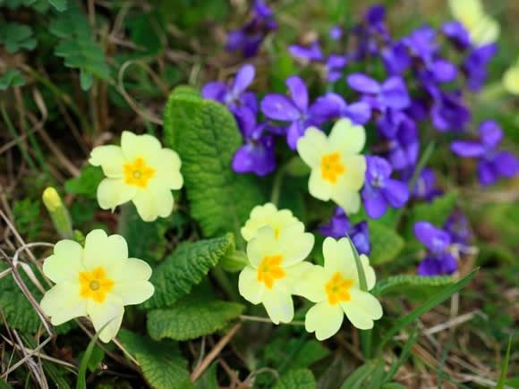 Wild spring flowers seven early flowers environment pinterest wild spring flowers seven early flowers mightylinksfo
