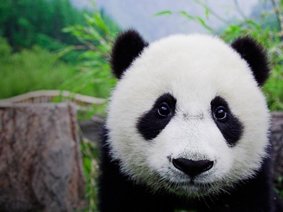 I need to hug a Panda.... NOW!! :(