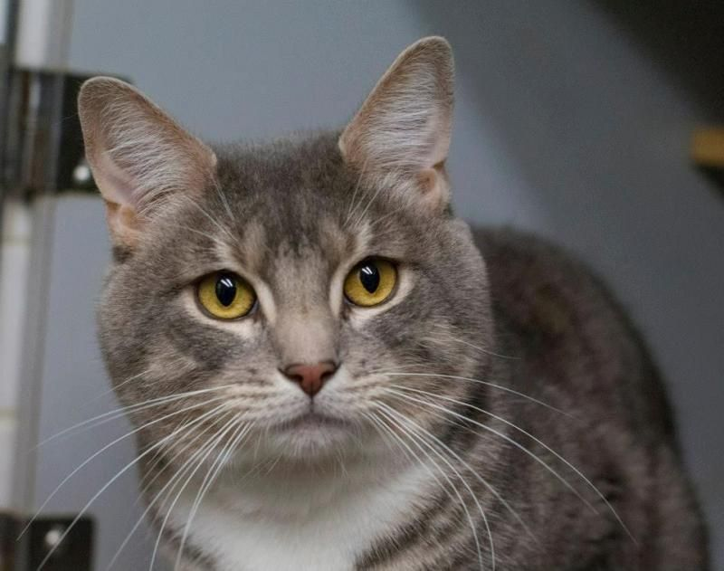 Adopt Ludwig On Cat Facts Fluffy Cat Munchkin Cat