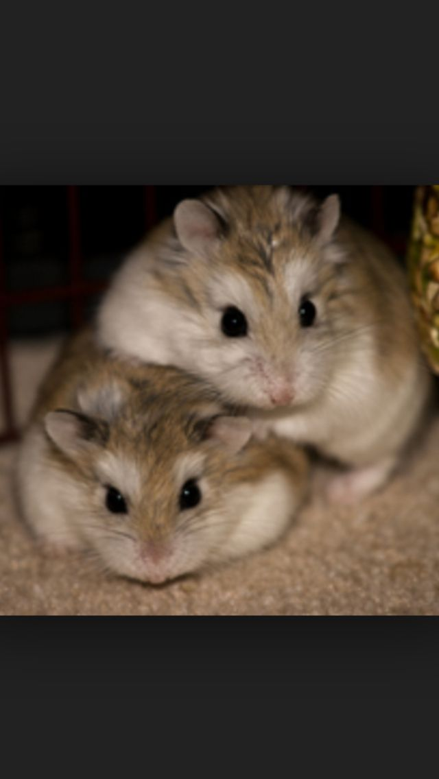 Dwarf Robo Hamsters Roborovski Hamster Baby Hamster Cute Hamsters