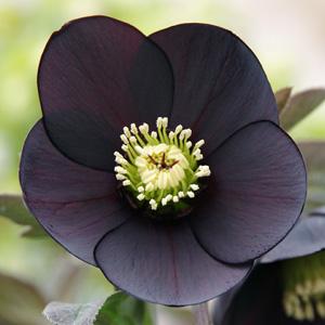 Hellebore Single Black Garden Express In 2020 Garden Express Black Garden Planting Bulbs