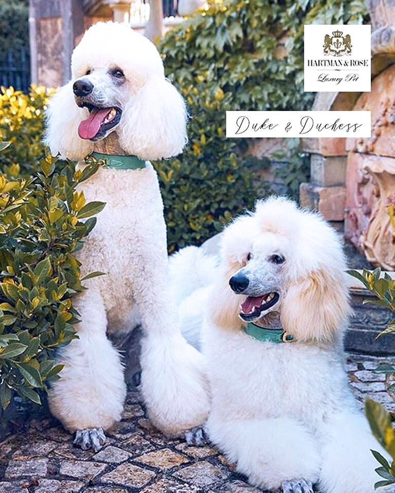 Hartman & Rose Luxury Pet. SAVE 25% online. Promo Code: REDLEAVES www.hartmanandrose.com Shown the magnificent Duke & Duchess from Sydney, Australia. Wearing the Regency collar in Kelly Green & Peridot and the Haute Couture Octagon collar in Kelly Green & Emerald @duke_thepoodle @hartmanandrose #hartmanandrose Hartman & Rose is a globally trademarked brand. Exceptions Apply