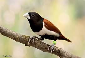 Bico De Chumbo De Cabeca Preta Lonchura Malacca Burung Burung Cantik Betina