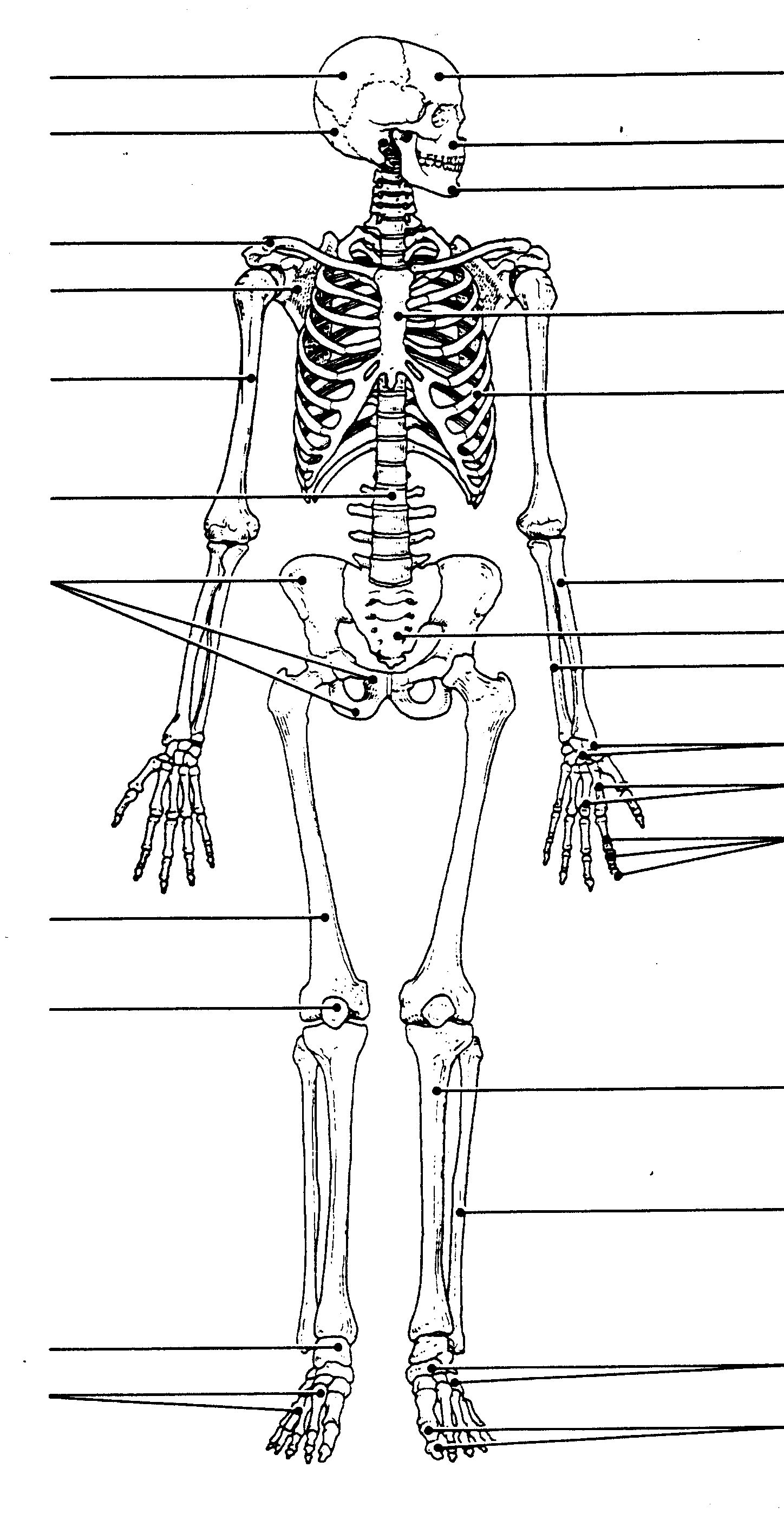 Unlabeled Human Skeleton Diagram Unlabeled Human