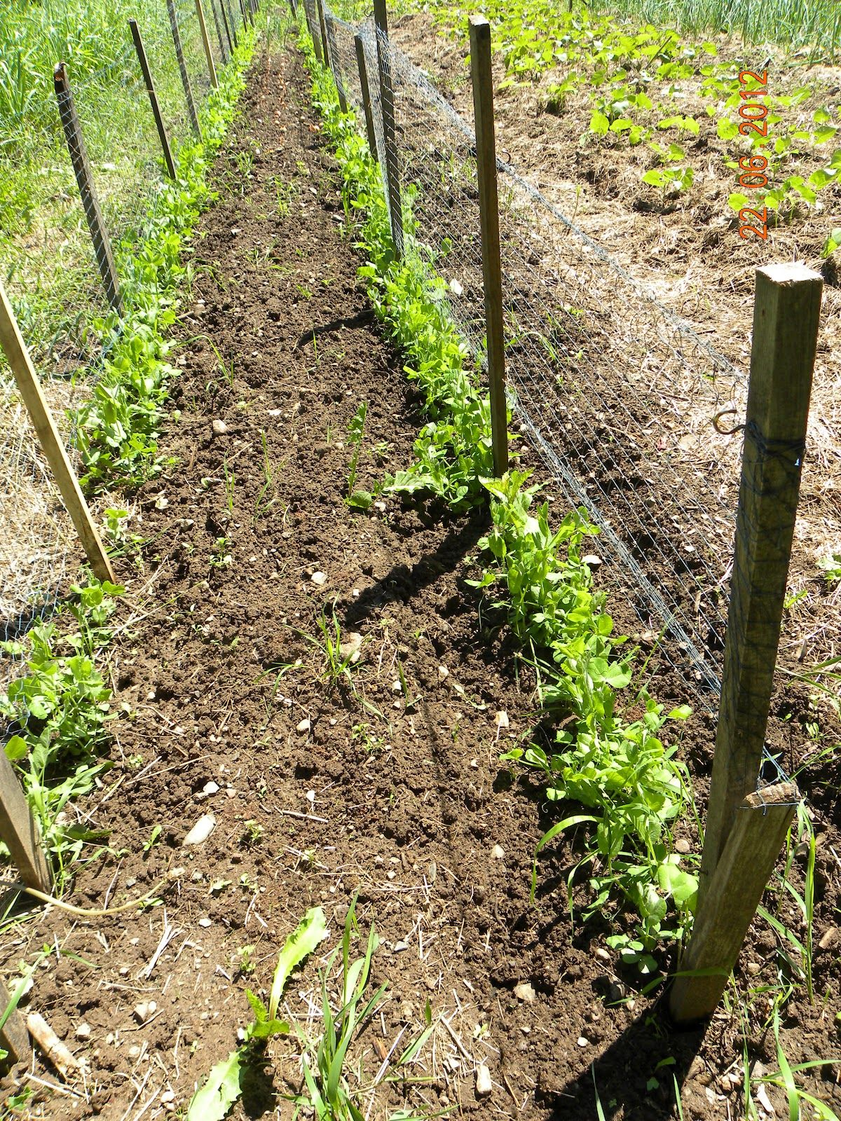 how to diy chicken wire pea trellis   Peas complete with Pea trellis ...