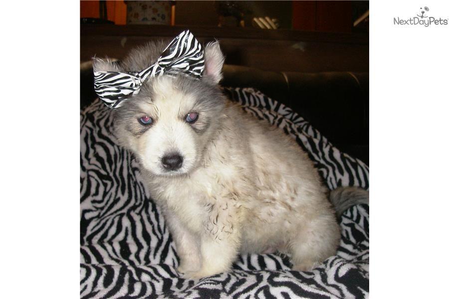 Cairn Terrier For Sale For 400 Near Fayetteville Arkansas 48812df3 1c41 Cairn Terrier Puppies Cairn Terrier Terrier