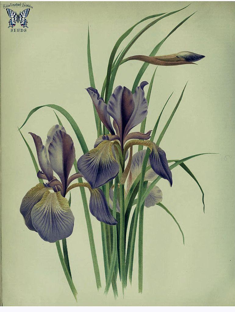 Iris Orientalis Deep Purple Flowers Crest Is Yelllow Leaves Slender To 3 Feet Long The Garden An Illustrated Weekly Journal Of Horticulture In All Its Bran Malyunok Kviti Irisi